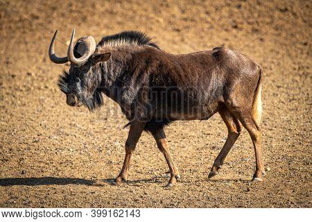 Black Wildebeest Walks Across Bare Rocky Pan