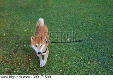 Shiba Inu Dog In The Green Meadow