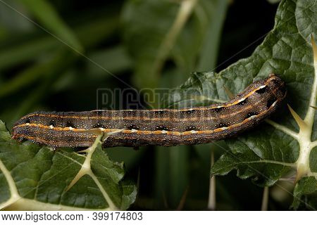 Caterpillar Eating A Leaf