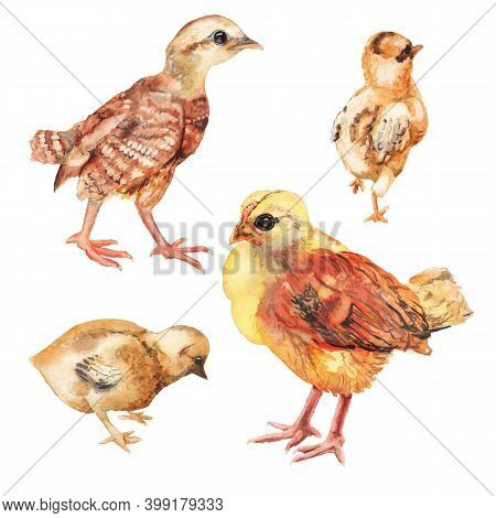 Set Of Watercolor Images Of Chickens. Hand Drawn Illustration Isolated On White Background. Farming