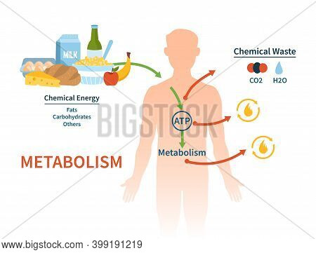 Human Metabolism Vector Banner. Labeled Chemical Energy Educational Scheme. Explanation Diagram With