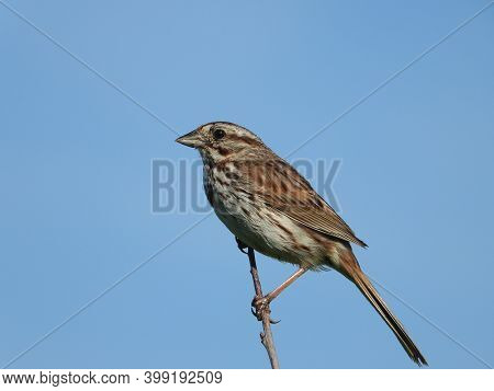 Song Sparrow Bird Perched On Top Tree Branch With Bright Blue Open Cloudless Sky In The Background L