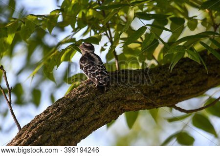 Baby Downy Woodpecker Bird Perched On Tree Limb Looking Up With Green Leaves Blurred In Background