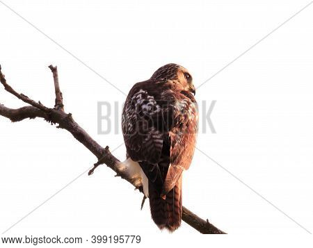 Red-tailed Hawk Bird Of Prey Raptor Perched On Bare Branch With Intense Stare