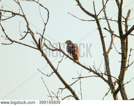 Red-tailed Hawk Bird Of Prey Raptor Perched On Bare Tree Branch With Blue Sky Background
