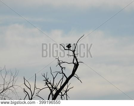Hawk Silhouetted In A Tree: Red-tailed Hawk Bird Of Prey Raptor Silhouetted As It Is Perched In A Ba