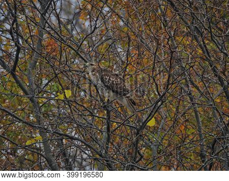Hawk In A Tree: Red-tailed Hawk Bird Of Prey Raptor Is Perched In A Tree With A Few Autumn Colored L