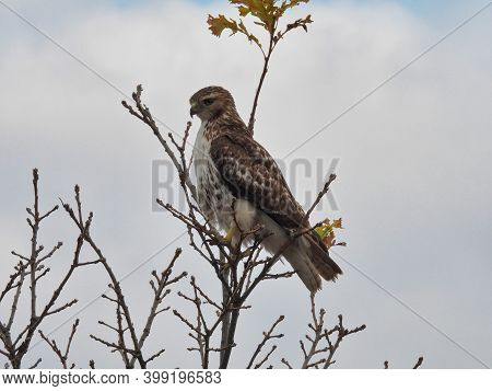 Red Tailed Hawk Perched On Branch: Bird Of Prey Raptor With Intense Stare As It Hunts For Prey From