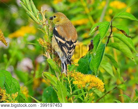 Goldfinch Bird Eats From Yellow Wildflower Goldenrod Among Green And Yellow