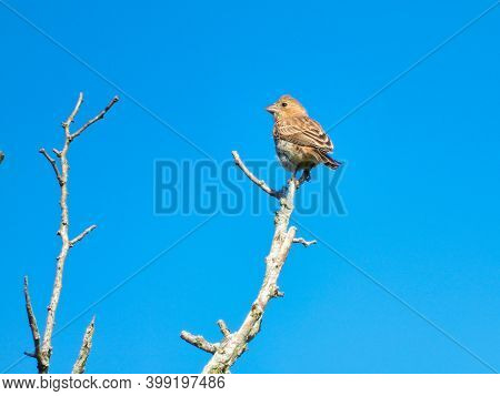 Bird On A Branch: House Finch Bird Perched At The Very Top Of A Tree Branch Looking Sideways Against