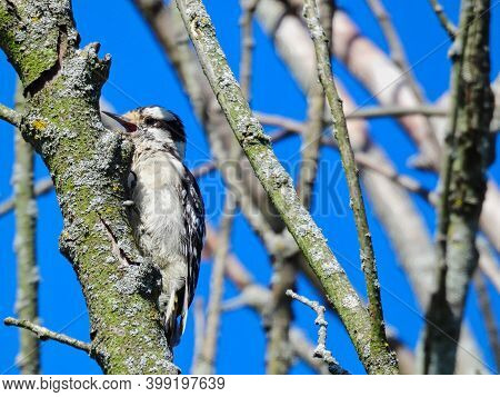 Downy Woodpecker Bird Scales A Tree Branch Surrounded By Other Bare Tree Branches And A Bright Blue