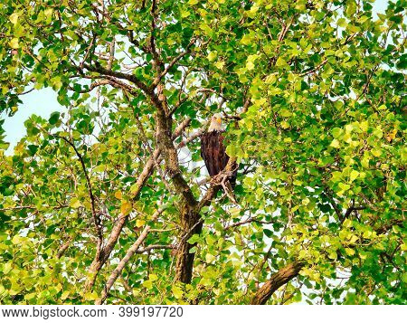 Bald Eagle Bird Of Prey Raptor Perched High In Tree On A Summer Day Hiding In The Green Leaves As A
