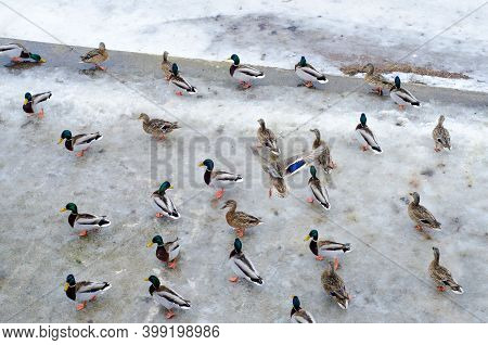 Wild Ducks And Drakes Walk On  Ice. Waterfowl In Winter Weather.