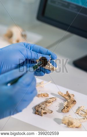 Closeup of archaeologist working in natural research lab. Laboratory assistant cleaning animal bones. Close-up of hands in gloves and ancient skull. Archaeology, zoology, paleontology and science.