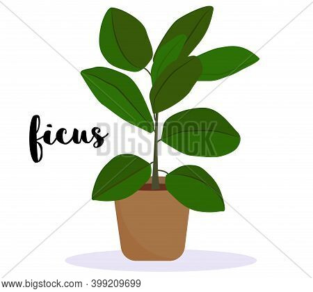 Ficus Elstica House Plant - Potted Plant Isolated On White Background. With Cursive Lettering Text -