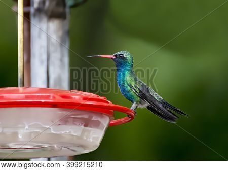 Broad Billed Hummingbird With Bright Green And Blue Feathers And Red Beak Perched In Close Up Profil