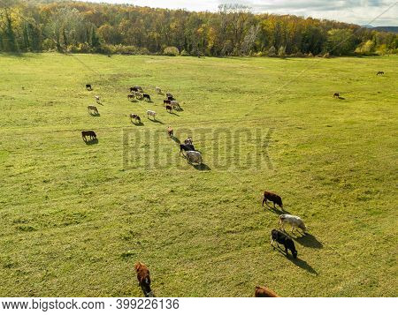 Cows Graze On Pasture In Autumn. Cattle In The Field. Livestock And Farming.