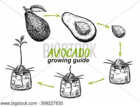 Avocado Tree Growing Guide. How To Grow An Avocado From Seed. Avocado Fruit, Seed, Sprout And Tree.