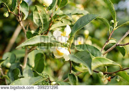 Tea Leaf And White Flower On A Tea Plantation. Tea Flower On A Branch. Beautiful And Fresh Green Tea