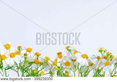 Partial Focus Of Spanish Needles Or Bidens Alba Flowers On White Background.