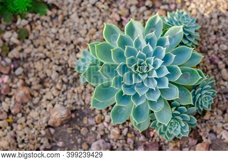 Echeveria Hybrid Which Is A Succulent Draught Tolerant Plant In The Garden.
