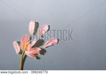 Spring Floral Backdrop With White Tulip And Separated Petals On Blue Background Sunlit With Long Sha