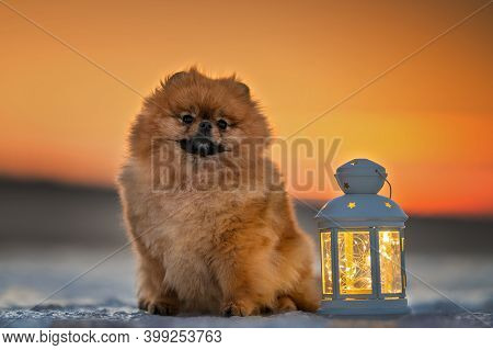 Beautiful Dog Portrait In Winter With Christmas Lantern At Sunset