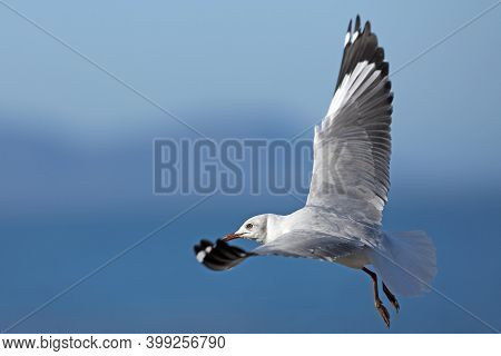 Hartlaub's Gull Or King Gull, Larus Hartlaubii, Immature In Flight, Hermanus In South Africa