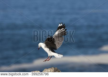 Hartlaub's Gull Or King Gull, Larus Hartlaubii, Adult In Flight, Landing On Rock, Hermanus In South