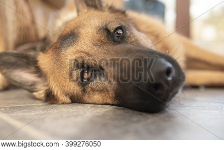 Beautiful Alsatian Dog Laying Down Indoors At Home