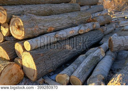 Poplar Trees Cut For Timber, Poplar Trees For Large Amounts Of Timber, Timber Trade, Poplar Wood For