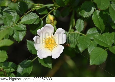 Wild Rose Flower (rosa Canina). The Flowers Give It A Mildly Laxative Action And As A General Tonic.