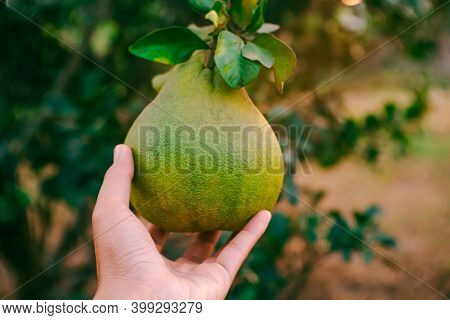 Men Holding Fresh Pomelo In The Garden Ready To Sell Or Eat. A Grapefruit In Garden, Pomelo Fruits.