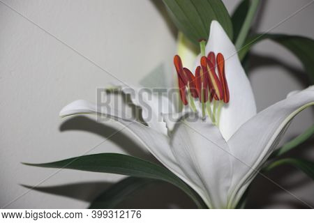 Extreme Closeup Of The Stamins Trumpet Shaped Flower Of A White Lily. Selecive Focus
