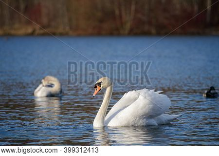 Beautiful Swan On Blue Lake Water In Sunny Day, Swan On Pond. Romantic Theme With Cygnus In The Wate
