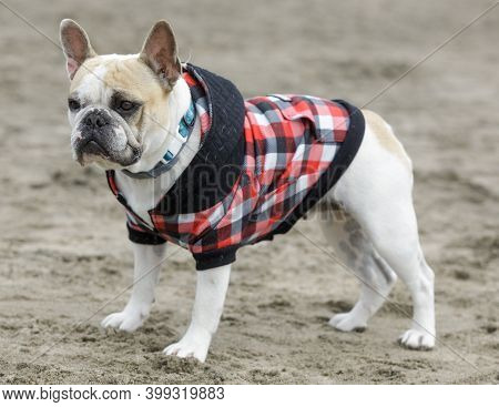 3-years-old Piebald Female Frenchie Standing Dressed Up At The Beach