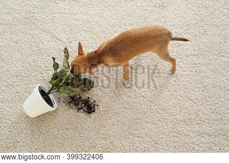 Adorable Chihuahua Dog Near Overturned Houseplant On Carpet Indoors, Above View