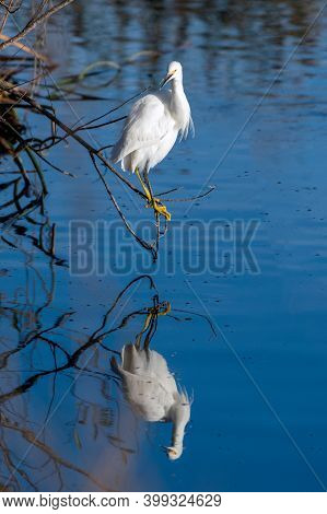 White Egret Bird Balances On Low Branch Perch Overhanging Pond Water As Reflection Mirrors Image In