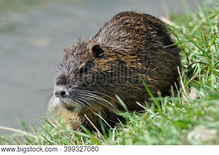 A Water Beaver (myocastor Coypus) On The Grass At A Watercourse