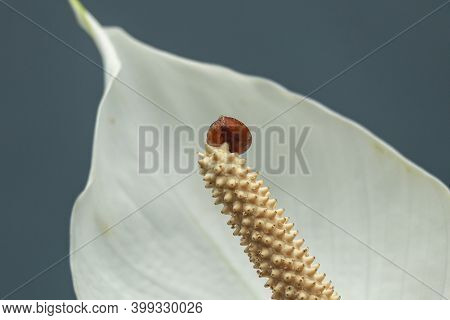 Close Up Of A White Calla Lily With A Small Red Bug Crawling On It. A Small Snail Crawls On A Calla