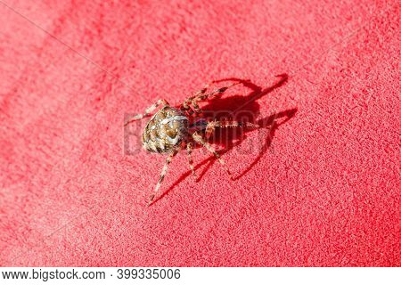 Spider cross. Wild dangerous poisonous arachnid. Arachnophobia. Fear of insects.