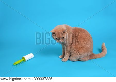 A Red British Cat Sits Near A Sticky Roller For Cleaning Clothes From Wool, Hair, Dirt And Debris, T