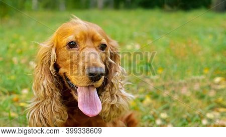 Furry Brown Spaniel Dog With Long Ears Licks Nose And Looks Around Sitting On Blurred Green Meadow O