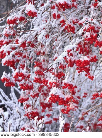 Branches of viburnum with ripe red berries covered with frost. Branch of clad viburnum covered icy