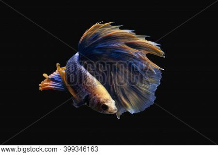 Beautiful Betta Fish Or Fighting Fish Moving Moment Of Colourful Half Moon Tail Isolated On Black Ba