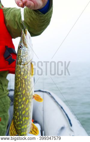 Fishing At Baltic Sea. Fisherman Catches Pike. Pike Caught Pike Lure. Fisherman Holds A Caught Pike