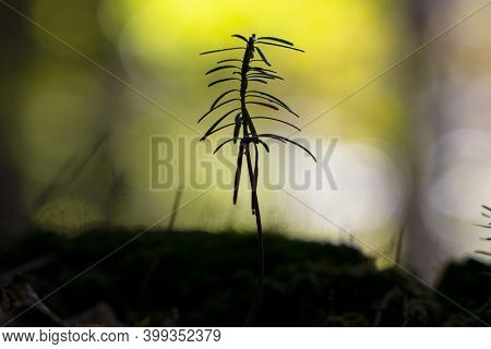 Small Sprout Of Pine Plants With A Beautiful Blurred Background. Sprout Of Young Coniferous Trees Of