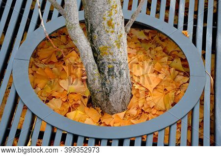 Yellow Leaves Of A Ginkgo Biloba Tree Fallen On The Ground. Soil Around Tree Covered With A Layer Of