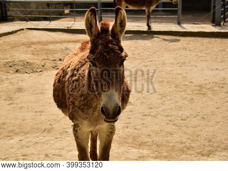 Close Up Photo Of A Donkey. A Very Common Farm Animal. Powerful, Strong, Persistent And Hardy Animal