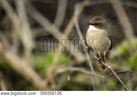 Grey Bush Chat Or Bushchat Portrait Perched On Branch At Dhikala Zone Of Jim Corbett National Park U